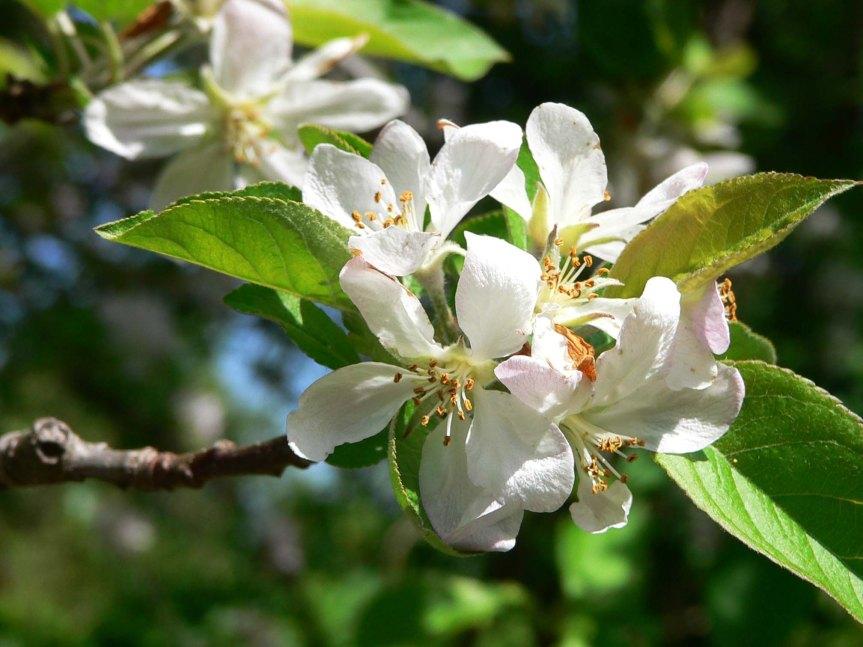 ¿Cómo podar un huerto de manzanos de altadensidad?