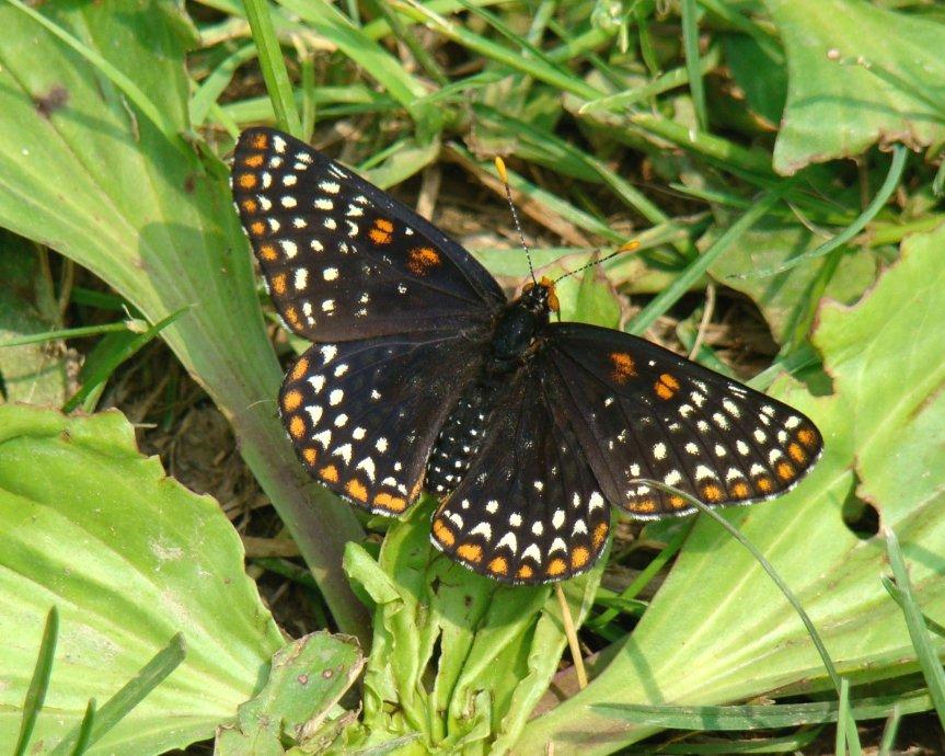 Mariposas de Maryland