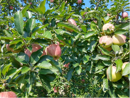 ¿Cómo determinar la madurez de las manzanas y su fecha óptima decosecha?